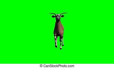gemsbock antelope running on green screen