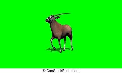 gemsbock antelope running with shadow on green screen