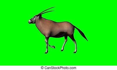 gemsbock antelope walking - green screen