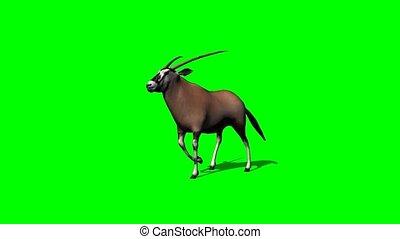 gemsbock antelope walking with shadow - green screen