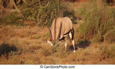 Gemsbok antelope grazing - Gemsbok antelope (Oryx gazella)...