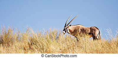 Gemsbok antelope grazing in the Kalahari