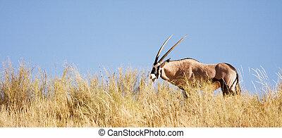 Gemsbok antelope grazing in the Kalahari