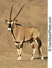 Gemsbok antelope (Oryx), desert adapted antelope of the Kalahari, South Africa