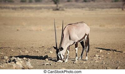 Gemsbok antelope (Oryx gazella) eating salty soil, Kalahari...