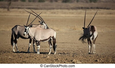 Gemsbok antelopes (Oryx gazella) irritated by biting flies,...