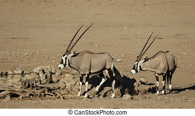 Gemsbok antelopes (Oryx gazella), Kalahari desert, South...