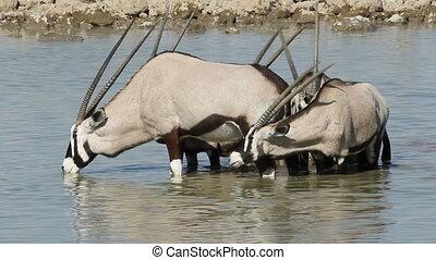 Gemsbok drinking water - Gemsbok antelopes (Oryx gazella)...