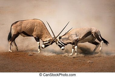 Gemsbok fight - ?Intense fight between two male Gemsbok on...