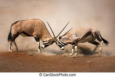 Gemsbok fight - ?Intense fight between two male Gemsbok on ...