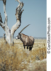 gemsbok in Etosha - gemsbok antelope in Etosha, Namibie