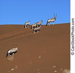 gemsbok, namib-nuakluft, (oryx), -, namibia, desierto