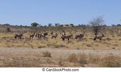 Gemsbok, Oryx gazella, africa wildlife South Africa -...