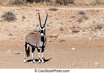 gemsbok, oryx, gazella