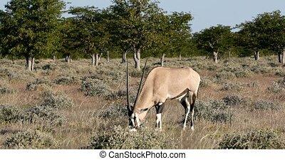 Gemsbok, Oryx gazella in Etosha, Africa - Gemsbok, Oryx...