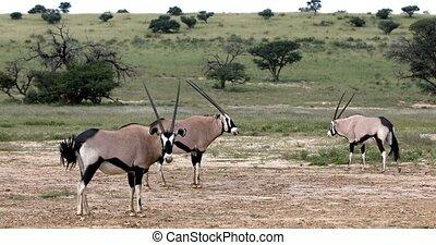 Gemsbok, Oryx gazella in Kalahari, South Africa - Gemsbok,...