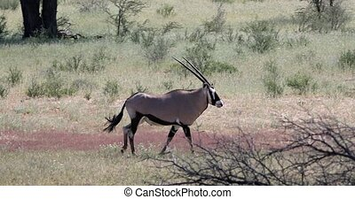 Gemsbok, Oryx gazella in Kalahari, green desert with tall grass after rain season. Kgalagadi Transfrontier Park, South Africa wildlife safari