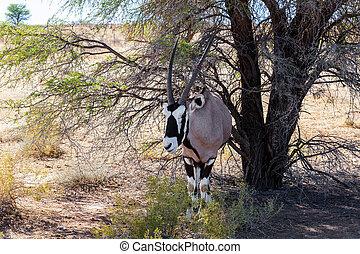 Gemsbok, Oryx gazella on sand dune