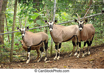 Gemsbok are widely hunted for their spectacular horns that...