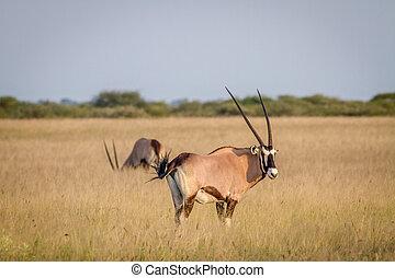 Gemsbok standing in the grass.