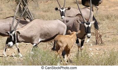 Gemsbuck walking around a calf in the Kalahari
