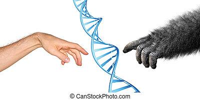genético, concepto, común, ascendencia