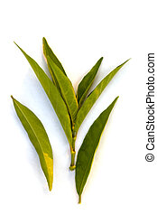 Gendarussa vulgaris leaves. - Gendarussa vulgaris leaves...