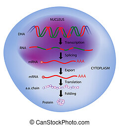 Gene expression, Central dogma of molecular biology