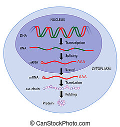 gene expression, eps8 - steps of gene expression