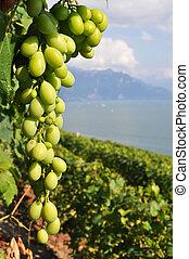 genebra, região, lago, contra, vinhedos, suíça, lavaux
