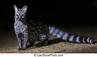Genet photographed at night using a spotlight sitting and...