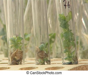 Genetically modified plant growing