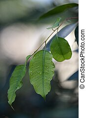 gengiva, folhas
