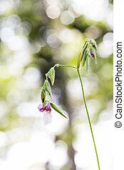geniculata, bokeh, flor, plano de fondo, thalia