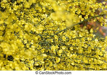bl te busch gelber forsythie springtime busch blossom gelber forsythie. Black Bedroom Furniture Sets. Home Design Ideas