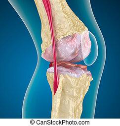 genou, joint., ostéoporose
