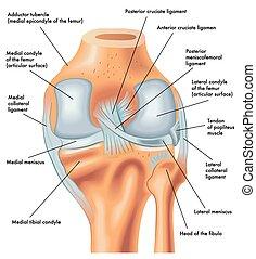 genou, postérieur, droit, vue