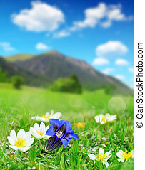 Gentian blooming on a mountain meadow