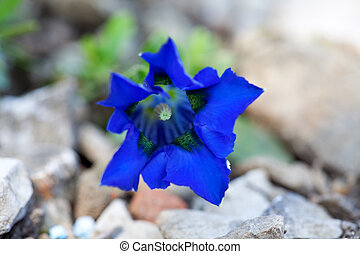gentian flower in the alps
