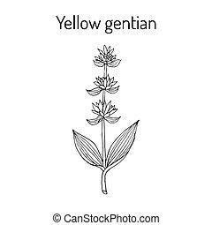 gentiana, gentiane jaune, lutea, médicinal, plant.