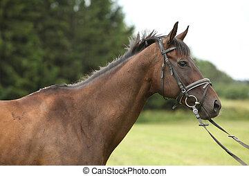 gentil, brun, purebred, cheval