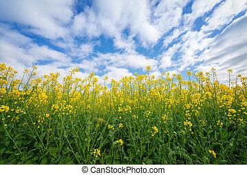 gentil, contre, fleurs, ciel, rapeseed