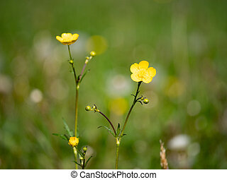 Gentle blossoms of wild buttercup