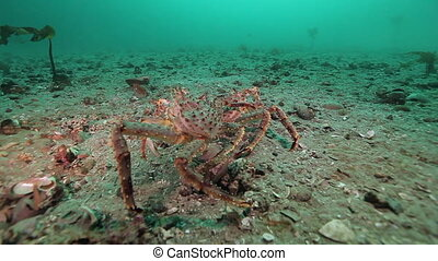 Gentle embrace and love of two crabs on deserted sandy bottom of Barents Sea.