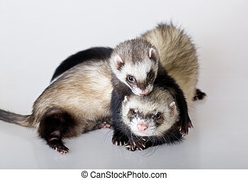 Gentle embraces - Two embracing polecats on a white...