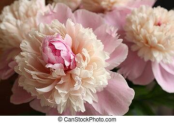 Beautiful blossom of a gentle peony