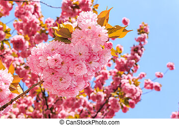 gentle pink flowers of Japanese cherry blossom in the rays...