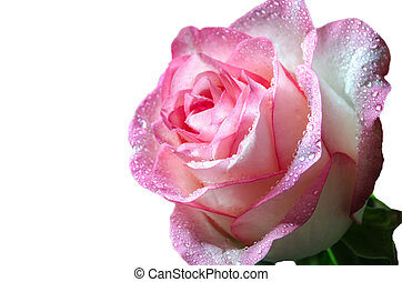 Gentle pink isolated rose with drops of dew on white background closeup.