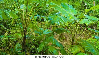 Video UltraHD - Light, gentle rain coating the big leaves of jungle greenery with moisture, dripping off the edges and onto the leaves below, with sound.