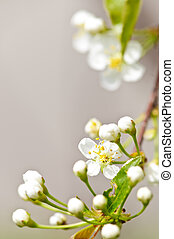Gentle white spring flowers - Gentle white spring cherry...